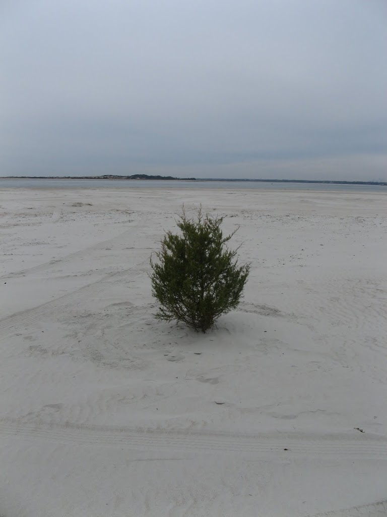 Bogue Inlet Beach Tree