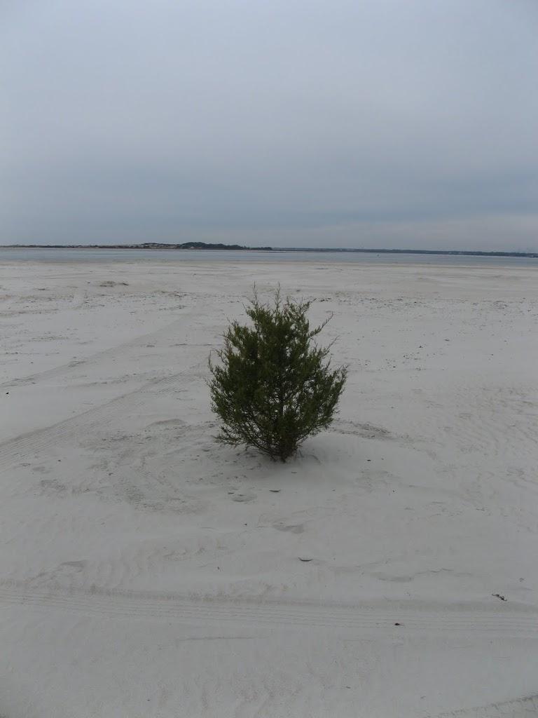 Bogue Inlet Beach Tree